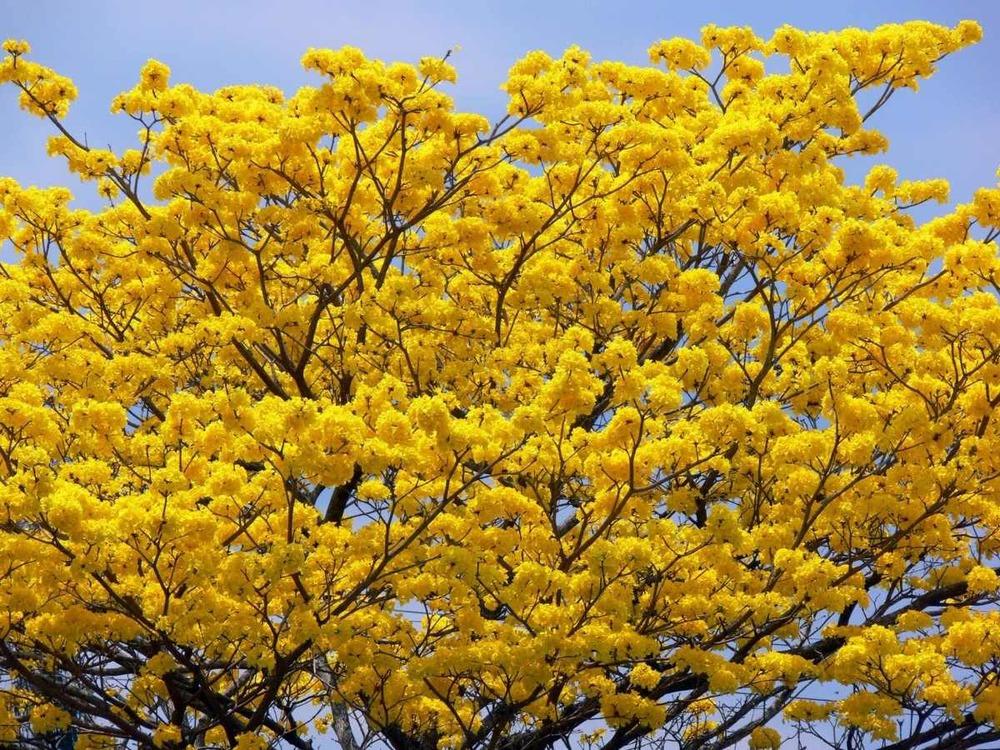 semillas-de-araguaney-handroanthus-chrysanthus-bonsai-14784-MLV20090373543_052014-F.jpg