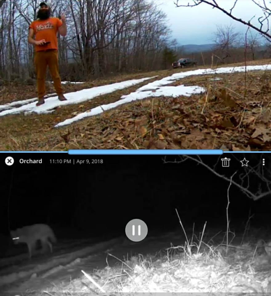 For reference: orchard cam triggered by coyote below; Al in same spot above.