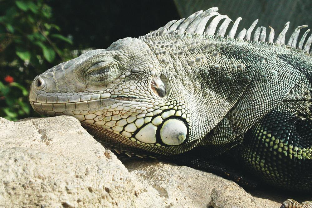 Sleeping lizard, shot on June 5 2004 with the Minolta DiMAGE F100.