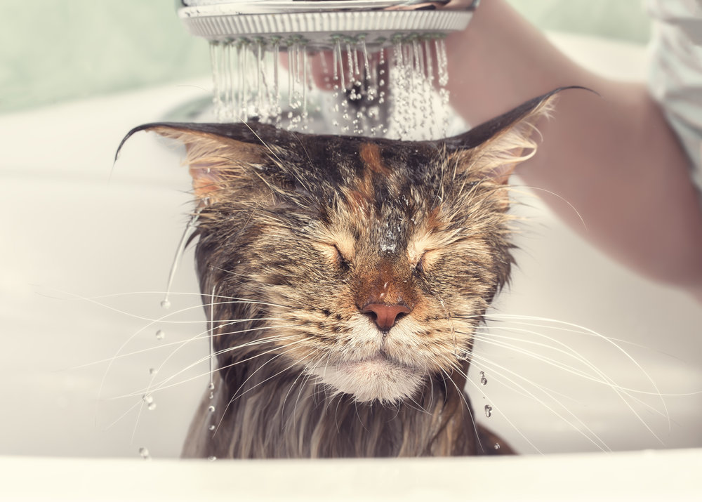 cat shower grooming bath.jpg