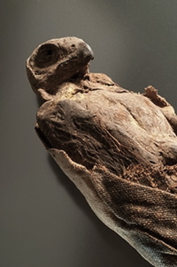 Mummified falcon. Queensland Museum.