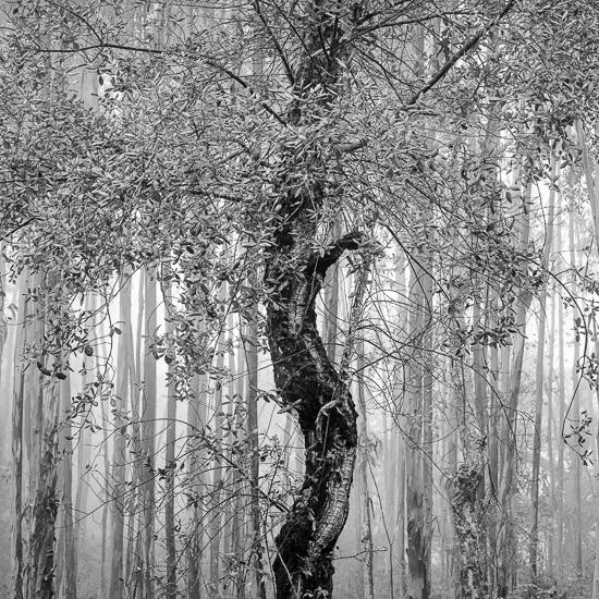 Blaya Tree