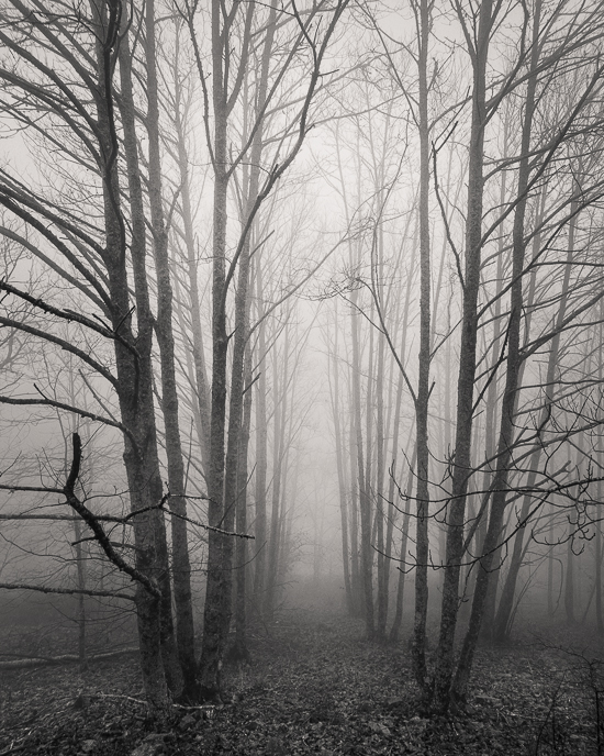 Corridor of Trees in Fog
