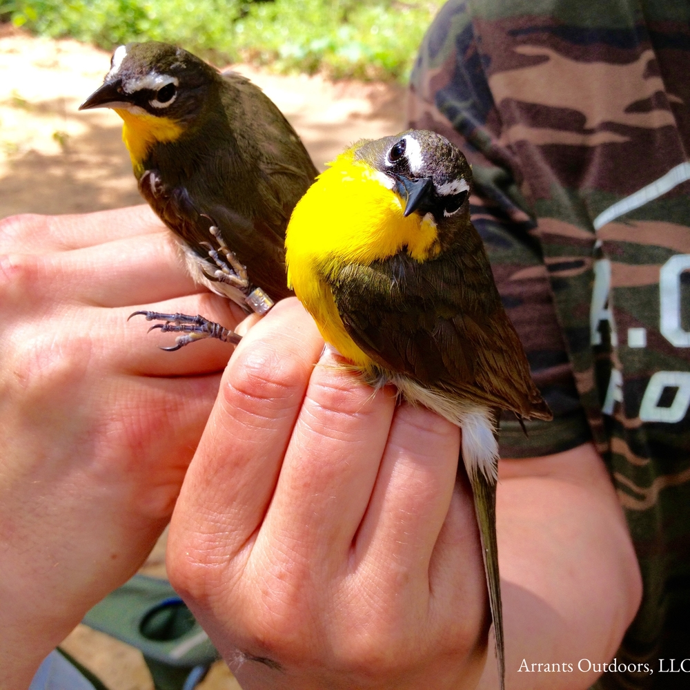 Two Yellow-breasted Chats banded at Fort Jackson, 5/21/13.  It is with great fondness that I remember mist-netting and banding with Nicole Hawkins and Stanley Rikard.  (Click to enlarge)