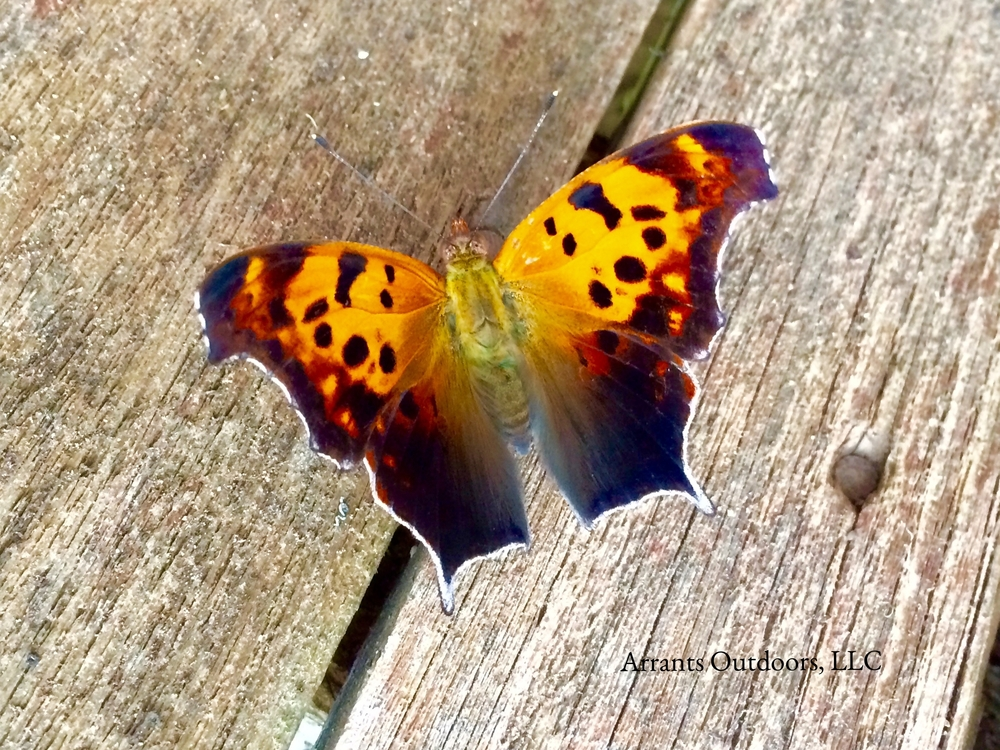 The many angles of the wings of a Question Mark Butterfly (Polygonia interrogationis).  (Click to enlarge)