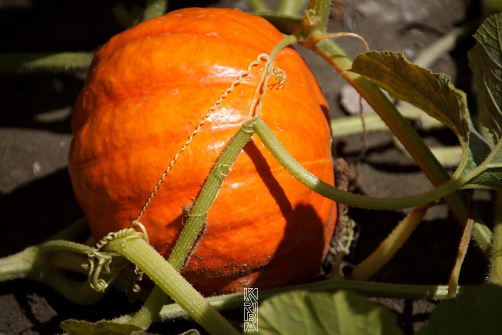 050-planjardin-légumes.jpg