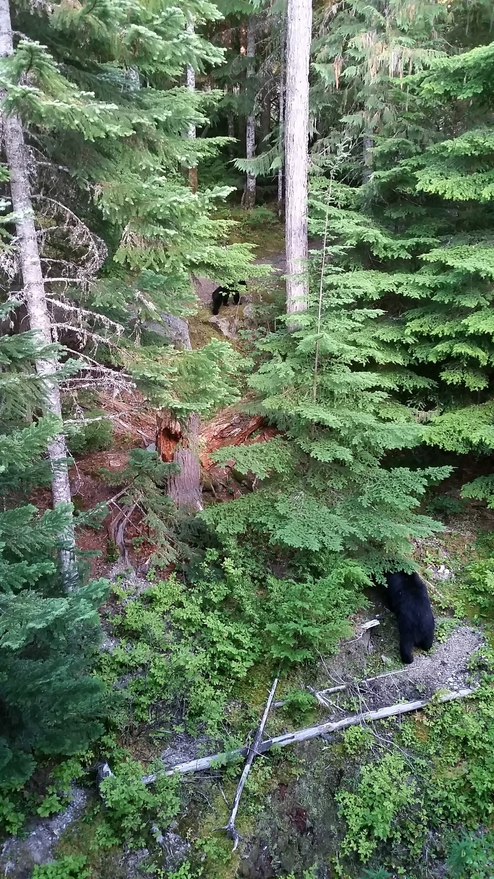 When we got back from dropping the bike off, we saw a mama bear and two cubs just outside our condo.