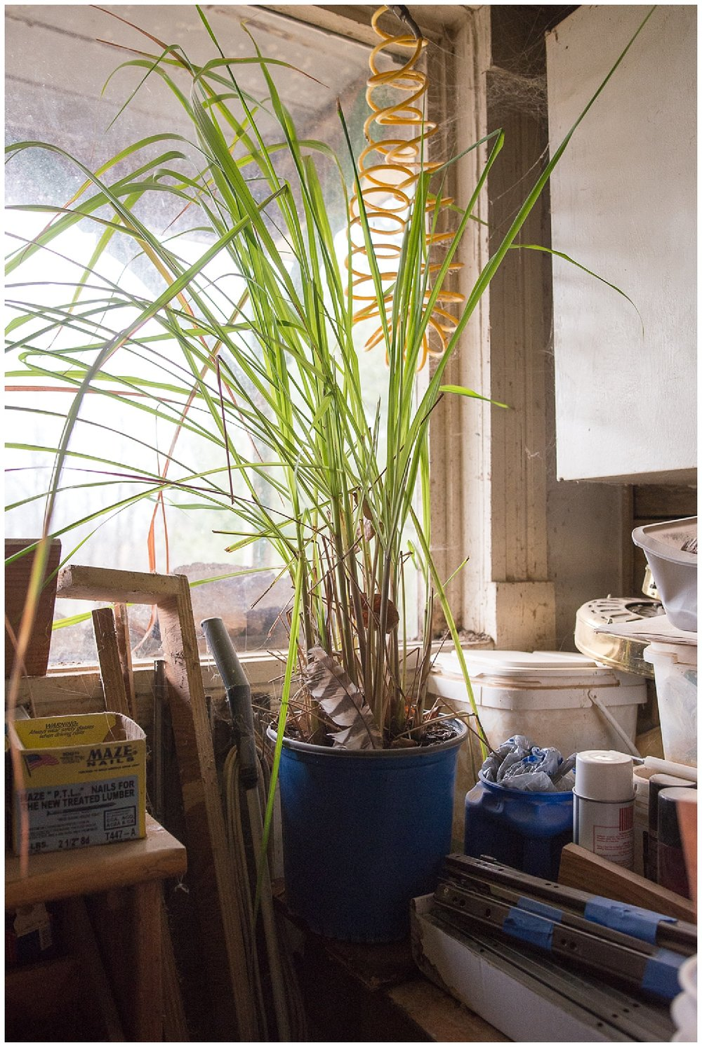 Josephine's lemongrass.  She wasn't around for us to get a picture of, so this will have to serve as her proxy.