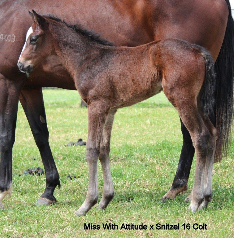 snitzel x miss with attitude colt