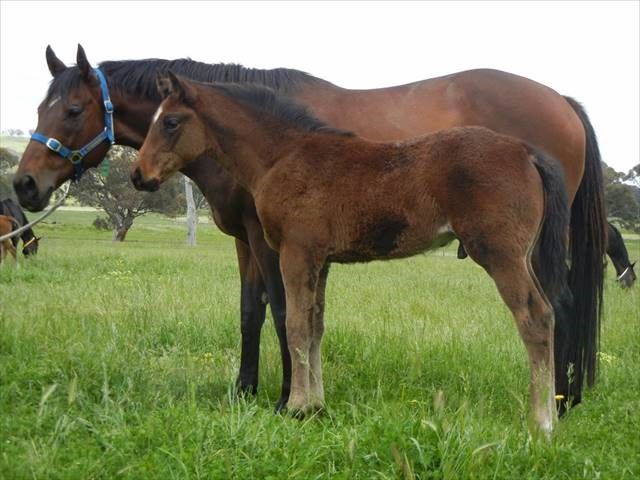 more than ready x obsidian dragon colt