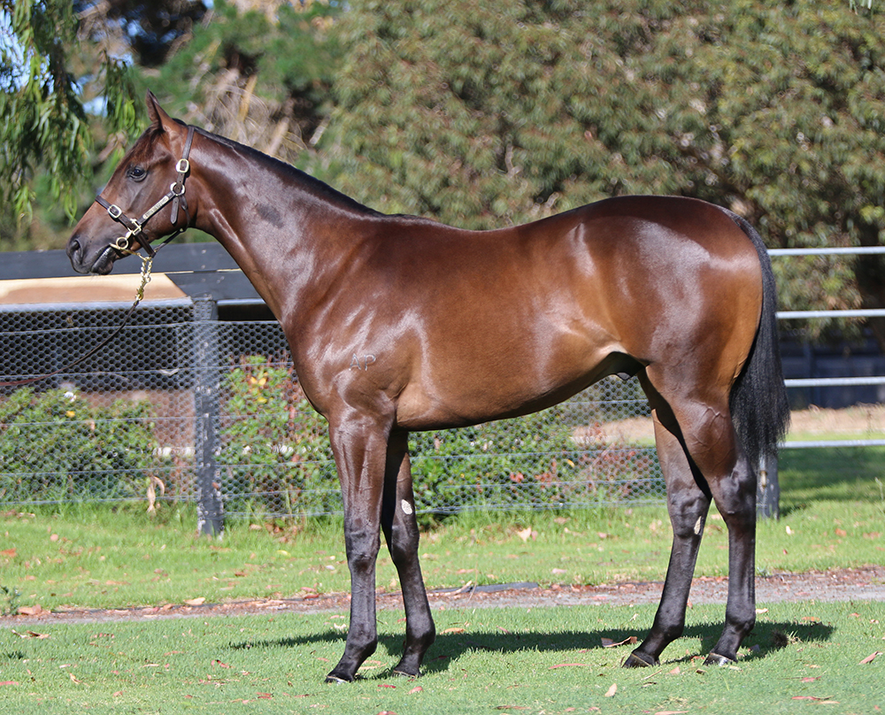 Lot 816: Bat or Brown Colt, Brazen Beau x I'm Discreet, by Elusive Quality