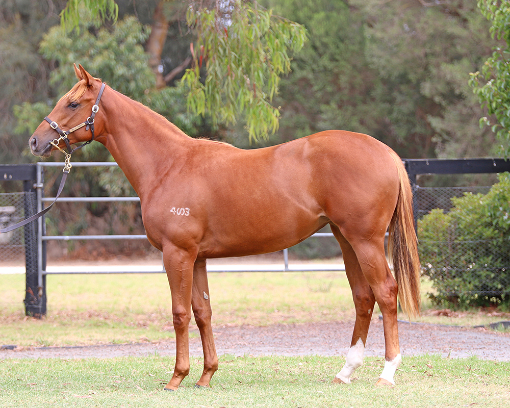 Lot 263 All Too Hard x Lassie Mactavish filly_low.jpg