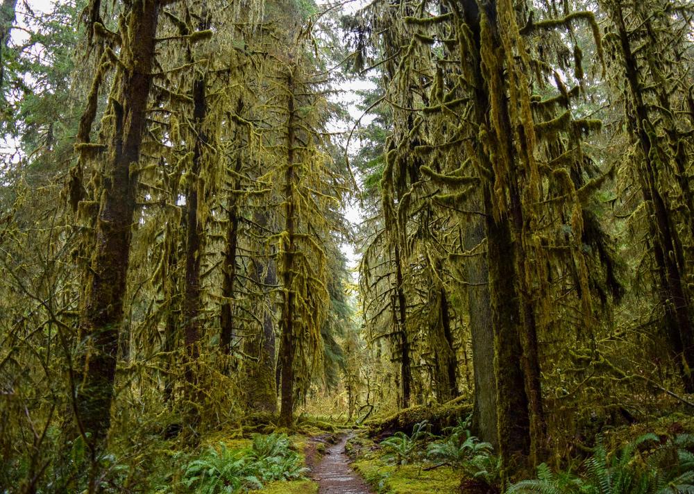 Hoh Rain Forest Giants.jpg