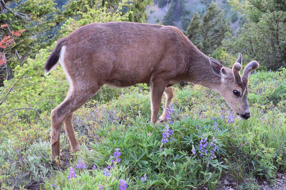Hurricane Ridge Tour: Wildlife atop the Ridge
