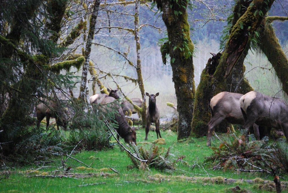 Roosevelt Elk on the Spruce Nature Trail