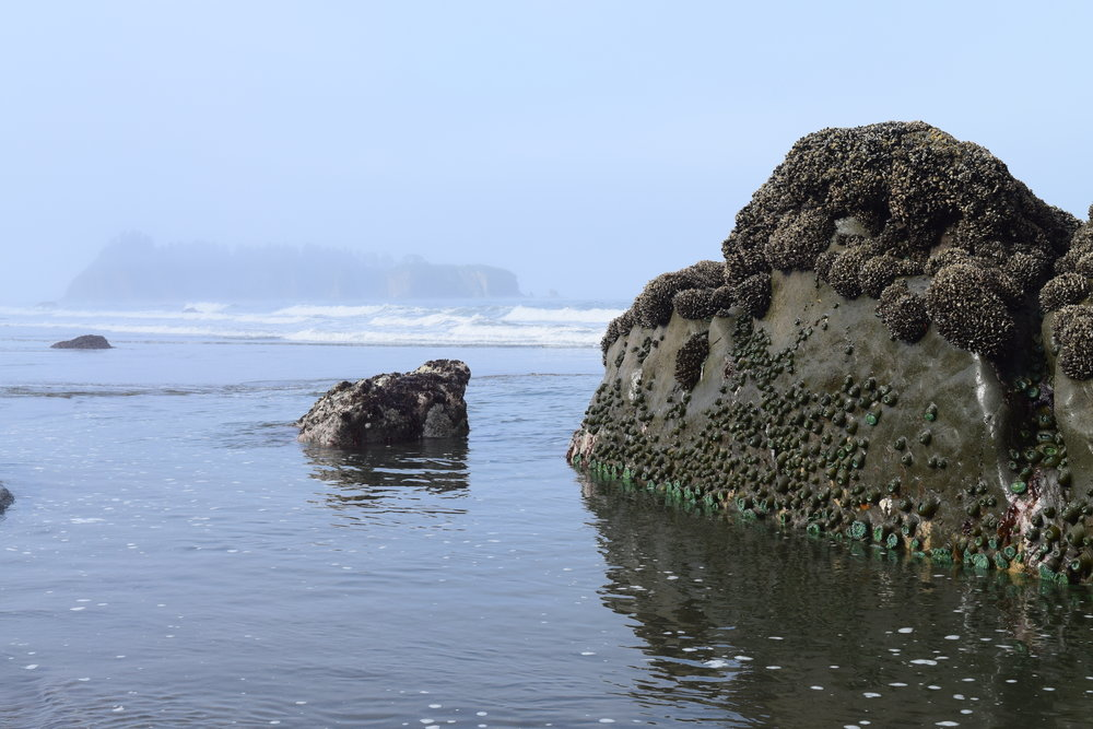 Tidepool Sealife along Rialto Beach
