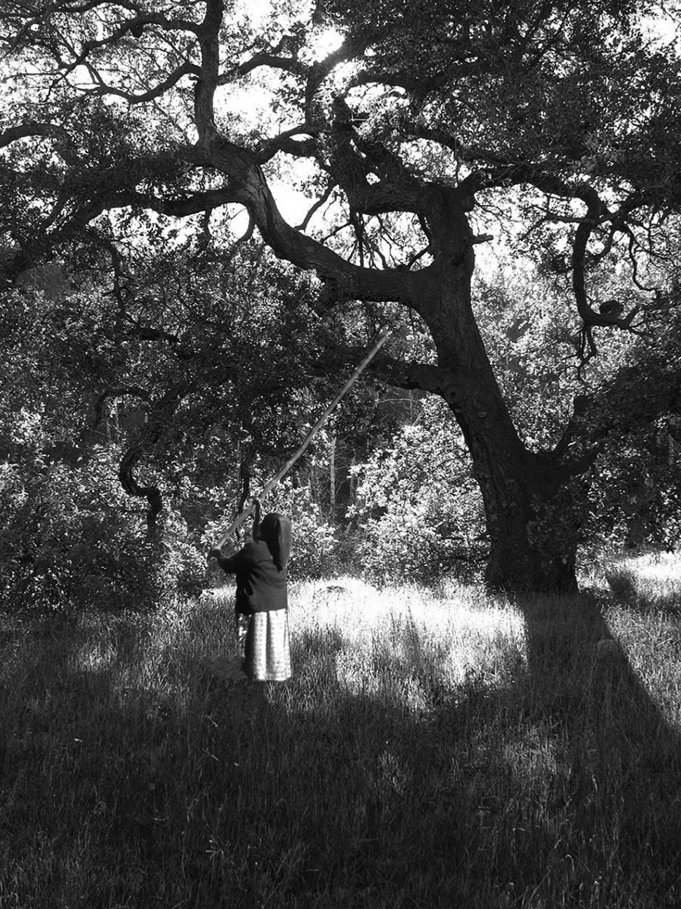 Groves of Valley Oaks were tended to by native families over generations, influencing entire ecosystems.