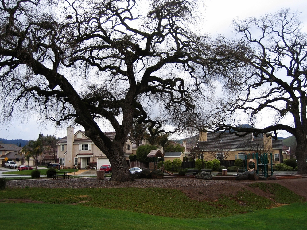 """Valley Oaks persistand remain resilient to development and other stressors. SFEI proposes a strategy to """"re-oak"""" thelandscape in Napa."""
