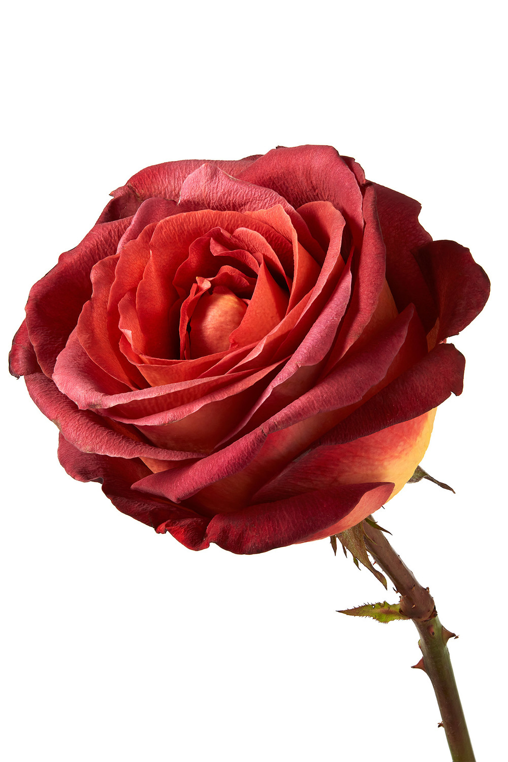 Columbian-Chocolate-Rose.jpg