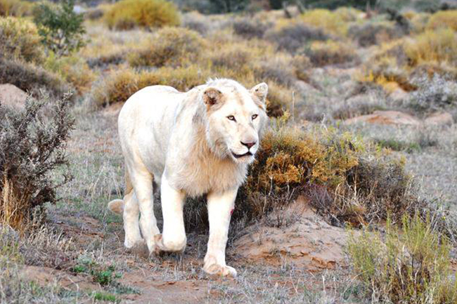 Sanbona-white-lion.jpg