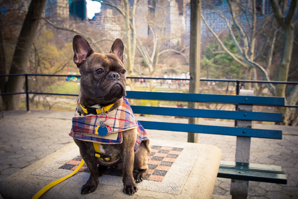 Mr. Brindles, French Bulldog & Canine Connoiseur