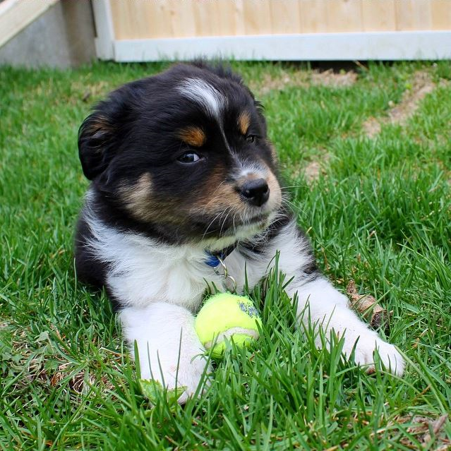 You seem very suspicious to this pup! Photo cred: IG @leotheminiaussie