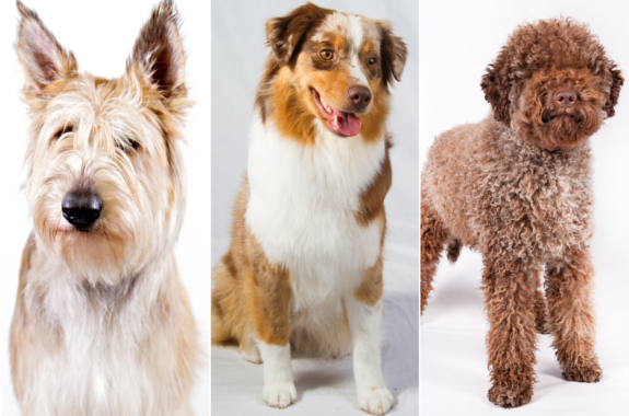 Left to right: The berger Picard, the miniature American shepherd and the lagotto Romagnolo. Photo cred: NY Post/ AP