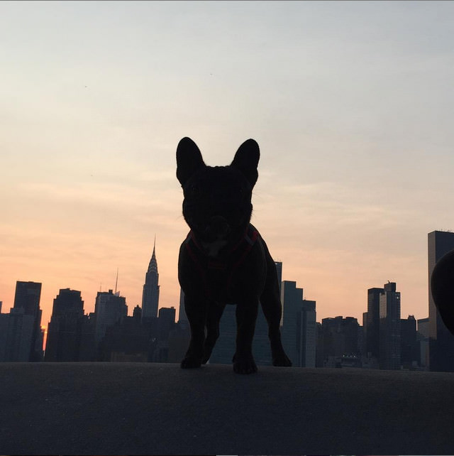 This pup poses with the beautiful NYC skyline, notice the Chrysler building just to his left. Photo Credit: IG @harvey.and.biggie