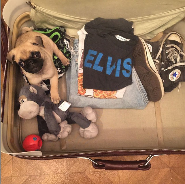 """I'm all packed and ready to go!"" Photo credit: IG @bugzzy_the_pugzy"