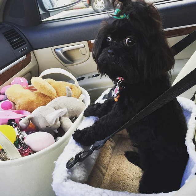 """I've got my car seat and my toys, I'm ready to leave now!"" Photo credit: IG @ryantheshihtzu"