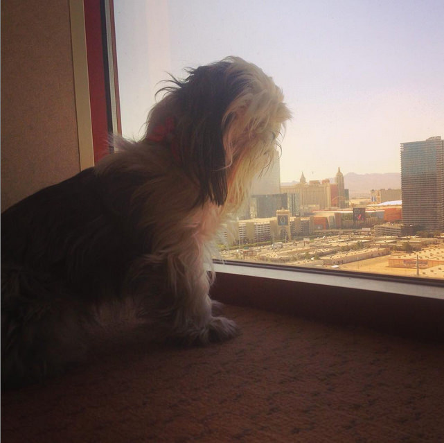 Nothing like waking up to another city's skyline! Vegas is even magical in the day time! Photo credit: IG @shihtzu_brothers