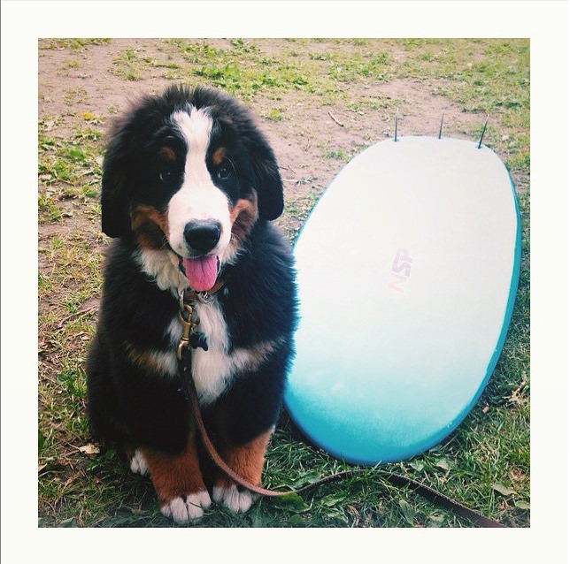 """""""Can I practice here on the grass first? Please?"""" Photo credit: IG @coachthebernese"""