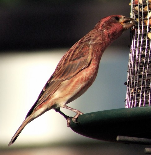 Purple finch reach