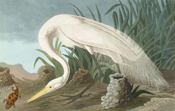 kiechel_audubon_white-heron