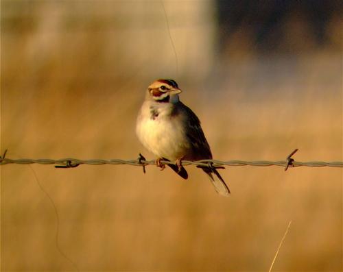 lark-sparrow