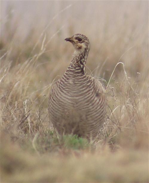 lesser-prairie-chicken-female