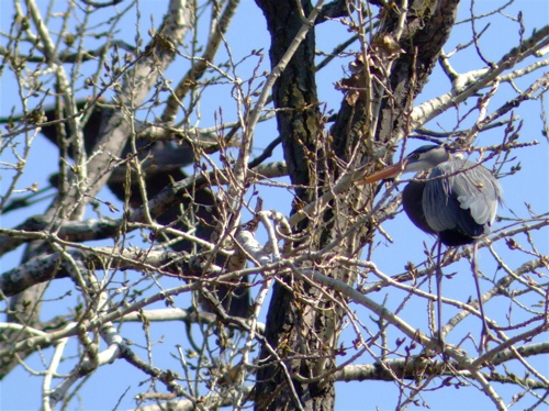 nest-gathering-heron