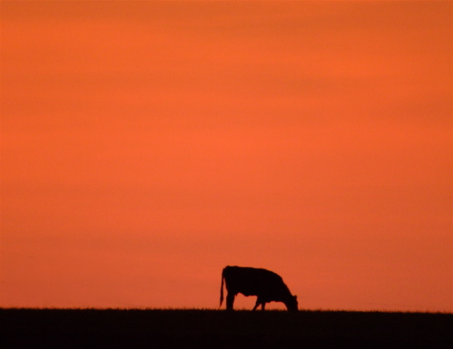 oklahoma-sunset-cow
