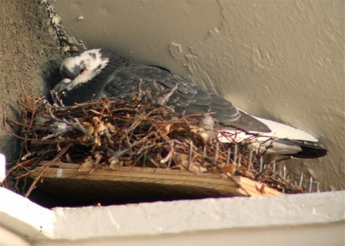pigeon-nest