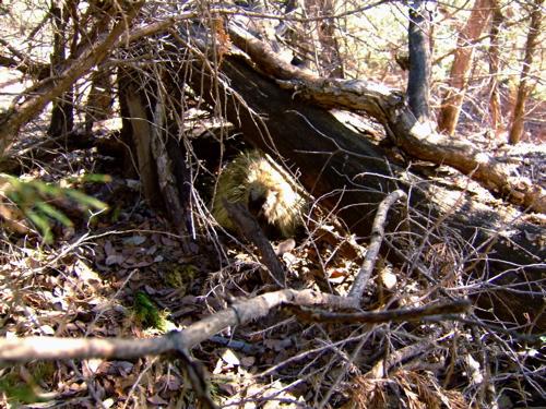 porcupine-lair