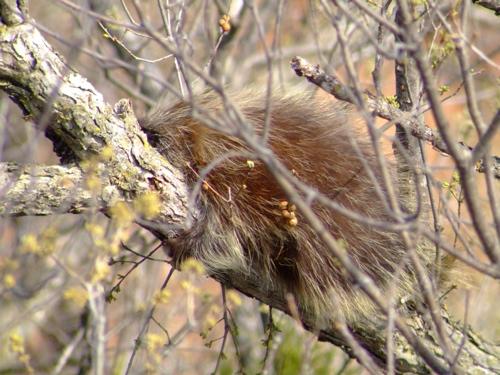 sleeping-porcupine