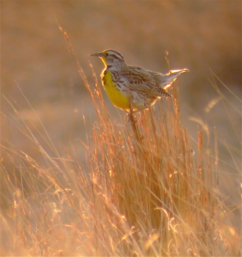sunset-meadowlark
