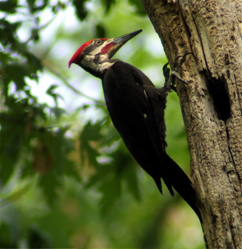 1-pileated