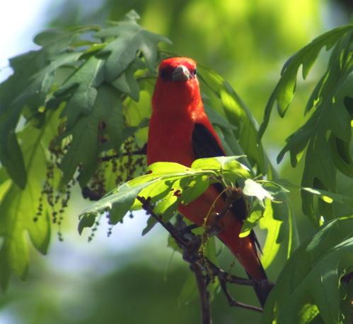 1-scarlet-tanager
