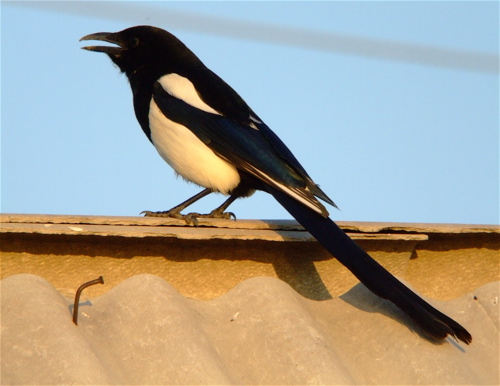 a-magpie