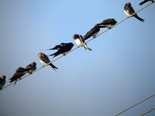a-swallows