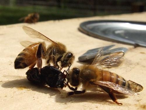 bees-licking