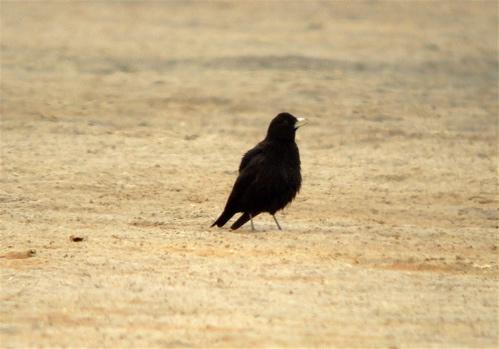 black-lark
