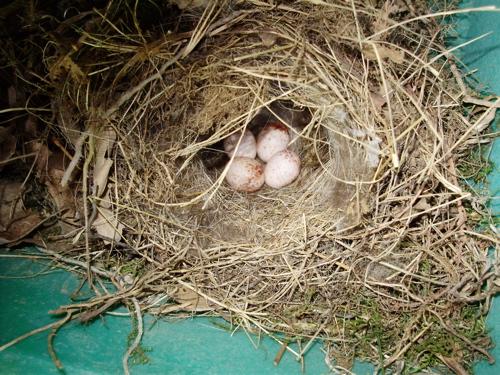 carolina-wren-nest