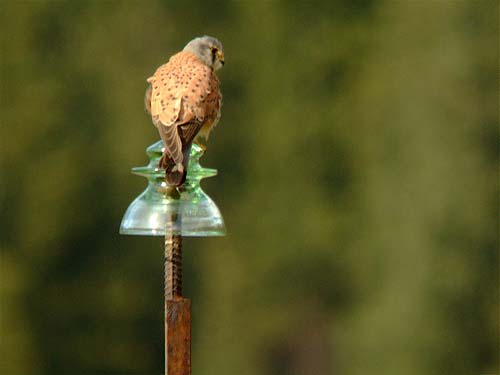 common-kestrel1